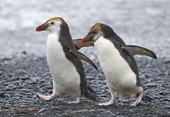 Royal Penguins (richard.mcmanus.) Tags: royalpenguin subantarcticislands macquarie australia penguins bird wildlife antarctica mcmanus tasmania