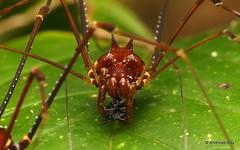 Harvestman (Ecuador Megadiverso) Tags: andreaskay arachnida birdwatcherslodge cranaidae ecuador harvestman mindo opiliones