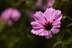 summer in my garden (JoannaRB2009) Tags: summer garden flower cosmos nature closeup purple green spider