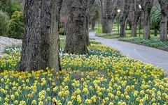 Day one of spring - Melbourne Fitzroy Gardens (Mark Tindale) Tags: daffodils yellow fitzroygardens melbourne pathway wellingtonparade trunk oak