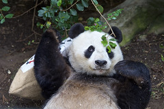 Happy 27th Birthday  Bai Yun (Rita Petita) Tags: baiyun sandiegozoo sandiego california china giantpanda panda