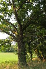Suffolk Oak @ B1063 (Adam Swaine) Tags: oak trees rural counties countryside county suffolk suffolkcounty countrylanes country ukcounties eastanglia naturelovers nature canon britain british tree seasons leaves green broads broadbritain
