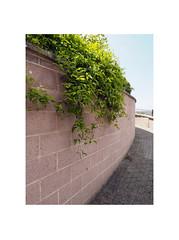 wall with hedge (chrisinplymouth) Tags: wall hedge path footpath devonport plymouth devon england uk city cw69x xg wb