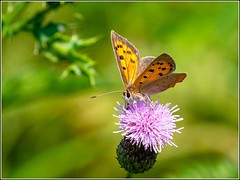 Small Copper Butterfly (Lycaena phlaeas) (Smudge 9000) Tags: 2018 butterfly channeiislands guernsey summer smallcopper standrews bailiwickofguernsey gg lycaenaphlaeas
