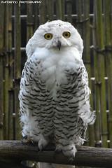 Snow Owl - Zie-Zoo (Mandenno photography) Tags: animal animals dierenpark dierentuin dieren snow ziezoo zie zoo bird birds owl owls snowowl ngc nederland nature netherlands