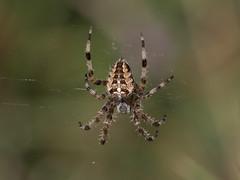 Araneus diadematus (common garden spider) (Anne Richardson) Tags: spider arachnid invertebrate arne dorset wildlife nature macro macrophotography araneusdiadematus gardenspider gardencross commoncross commongarden