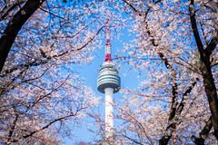 N Seoul Tower with cherry blossom or sakura flower with blue sky at Namsan Mountain in Seoul City, South Korea. (MongkolChuewong) Tags: architecture asia asian autumn background blossom blue building business cherryblossom city cityscape day dusk flower forest high korea korean landmark landscape mountain n namsan nature night old outdoor park public sakura seoul sky skyline south spring summer sunset tall top tourism tourist tower town travel tree twilight urban view wall