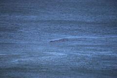 IMG_3604 (gervo1865_2 - LJ Gervasoni) Tags: surfing with whales lady bay warrnambool victoria 2017 ocean sea water waves coast coastal marine wildlife sealife blue photographerljgervasoni