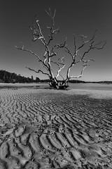 That Salamander Tree || Port Stephens (David Marriott - Sydney) Tags: salamanderbay newsouthwales australia au salamander bay port stephens mud flats low tide tree bw black white nsw