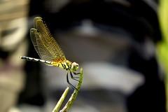 IMG_6193 (mohandep) Tags: hessarghatta lakes karnataka butterflies birding nature wildlife insects signs food