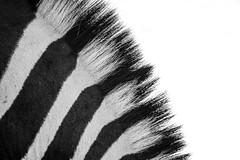 zebra5 (renaud5962) Tags: zebra dinokeng southafrica gauteng pentax k70 bw