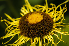 Helianthus (Alexander Jones - Documentary Photography) Tags: documentary macro photography flower flora park botanical garden gardens london kew richmond south east england flowers bokeh nikon d5200