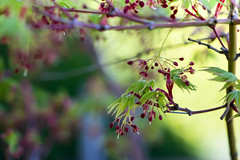 Spring saturation (cheezepleaze) Tags: spring maple acer leaves growth nature plant green hss