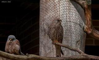 Walsrode, Weltvogelpark, Turmfalke