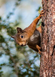 0139 (40) - Red Squirrel