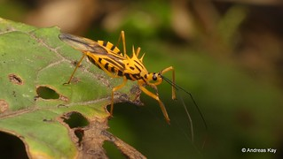 Assassin Bug, Corcia columbica, Reduviidae