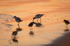 Sandpipers (josullivan.59) Tags: 2018 bc britishcolumbia canada dof pacific tamron150600 tofino vancouverisland backlit beach birds color day detail evening goldenhour minimalism nature nicelight ocean orange outdoor outside park reflection ripples sea seashore shore sunset sunsetlight surfacetension telephoto texture travel wallpaper warm water