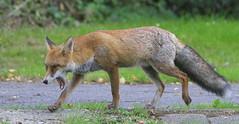 Urban Fox! (wurzel.pete.3.6 Million views,Ta!) Tags: 9918 urban fox urbanfox wild nature uk surrey caterham cool animal