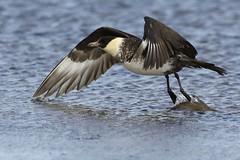Pomarine Skua (Stercorarius pomarinus) (Fly~catcher) Tags: stercorarius pomarinus jaeger sea flight wings seabird migrant