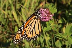 2018 Monarch Butterfly 050 - Danaus Plexippus (Chrisser) Tags: insects insect butterflies butterfly monarch danausplexippus nature ontario canada canoneosrebelt6i canonef75300mmf456iiiusmlens nymphalidae