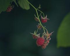 *** (zeldabylinovitch) Tags: summer raspberry garden warmth warm berry