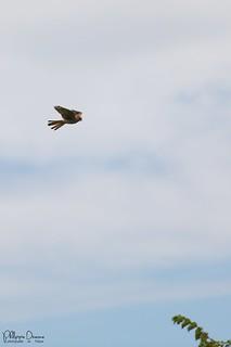 faucon crecerelle-0053_signée