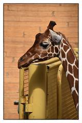 Giraffa camelopardalis reticulata (myphotomailbox) Tags: rotterdam netherlands blijdorp zoo giraffe animal zoogdier indoor giraffa netgiraffe artiodactyla evenhoevigen laurasiatheria placentalia theriiformes chordata mammalia deuterostomia eumetazoa animalia eucarya
