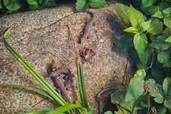 DSC06843 (Christine Gerhardt) Tags: aussenterrarium deutschland echse stuttgart tierfoto westlichesmaragdeidechse wilhelma zoo
