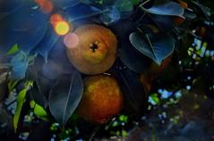 Sé caen de maduras. (FOTOS PARA PASAR EL RATO) Tags: árboles frutales hojas maduras pera fruta frutas