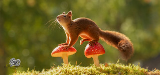 red squirrel standing on toadstool
