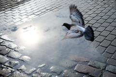 Freedom of flight (Mikhail Korolkov) Tags: street streetphotography reflection sun sunlight puddle dove bird freedom flight brickroad pavement