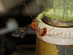 Ichneumon Wasp (peak4) Tags: derbyshire wildlift trust hoe grange nature reserve olympus em1 mk1 sigma ichneumon wasp 150mm macro moth insect wildlife