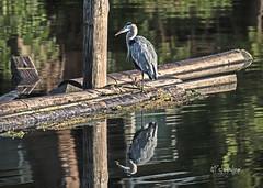 _K8A5361     1600 (pete#1) Tags: heron island morning