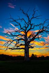 Immortal (christianviktorsson) Tags: canon 50d 18135mm hovetorp linköping sweden sverige old oak sunset clouds östergötland