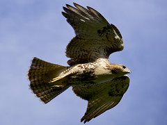 Red-tailed Hawk in flight (MarcBphotos) Tags: redtailed hawk flight birdofprey raptors sky bird bif prey nature wild life 1000