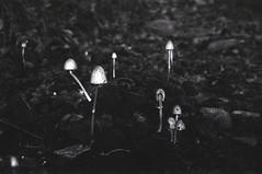 Funghi (Silvia Kuro) Tags: mushrooms mushroom fungo funghi nature natura wood woods bosco boschi forest foresta bw black white analog film analogico fotografia analogica 35mm ilford fantasy fantastic magic