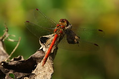Common Darter dragonfly at Itchen Navigation, Bishopstoke, UK (Art-G) Tags: insect dragonfly commondarter itchennavigation canal river bishopstoke hampshire uk canon eos7dmkii 100400lisusm bokeh