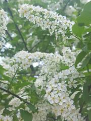 Prunus padus (Iggy Y) Tags: prunuspadus prunus padus spring blossom flower white color flowers green leaves nature park plant sremza cremza europeanbirdcherry hackberry sunny day light