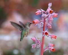 Anna's hummingbird with echeveria blossoms (Victoria Morrow) Tags: