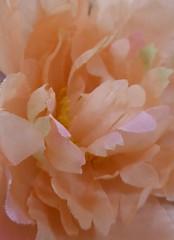 Peach Petals. (jenichesney57) Tags: peach soft flower petals shapes 2panasonic lumix artificial