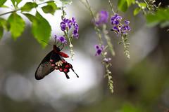 butterfly (Agnieszka D.Reece) Tags: butterfly macro garden flowers