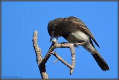 DSC_7401  Black Phoebe (felicitydawn) Tags: phoebe flycatcher
