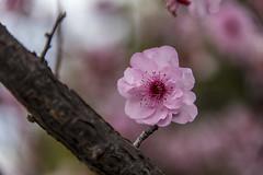pink (Greg Rohan) Tags: macro depthoffield dof blur flowers flower nature pink blossoms blossom bloom d750 2018 nikon nikkor
