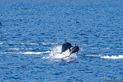 Spinner Dolphins – Stenella Longirostris 3137 (Ursula in Aus - Travelling) Tags: jimclinephototour milnebay png papuanewguinea tawali