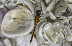 Dragonfly at the Beach (Charles Patrick Ewing) Tags: dragonfly fly insect macro wings winged animal beach shells seashells closeup nature natural sharp details beautiful beauty sand new all eveything fave faves fovorite outdoor sea gulf ocean landscape animals landscapes colorful