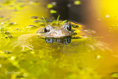 I love to be in your pond. (Leo Kramp) Tags: 2018 frog flickr achtertuin kikker backyard tuin leo kramp leokramp wwwleokrampfotografienl leokrampfotografie