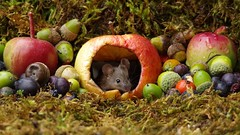 wild garden mouse inside a apple (7) (Simon Dell Photography) Tags: wild garden house mouse nature animal cute funny fun moss covered log pile acorns nuts berries berrys fuit apple high detail rodent wildlife eye ears door home sheffield ul old english country s12 simon dell photography