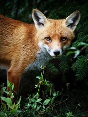 Fox portrait (Valérie C) Tags: fauna nikon 70300mm switzerland animal country woods nature wild portrait redfox wildanimal fox
