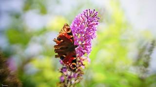 Butterfly - 5789