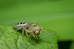 Thyene sp. Female (akshaydere) Tags: nikond750 nikkor105 macro spiders nikonshowcase nikonindia iamnikon
